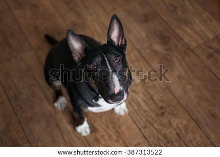 english bull terrier dog sitting on the floor - stock photo