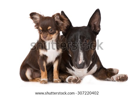 english bull terrier dog with a chihuahua puppy