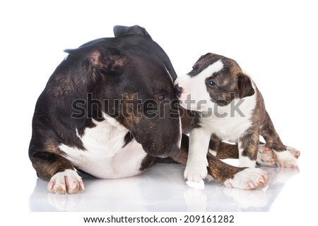english bull terrier dog with a puppy - stock photo