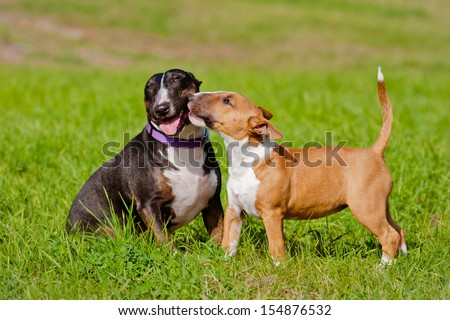 english bull terrier dogs together