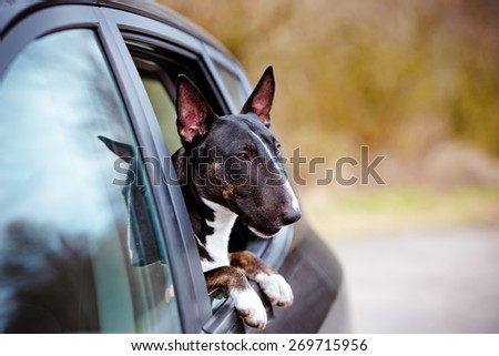 english bull terrier in a car - stock photo