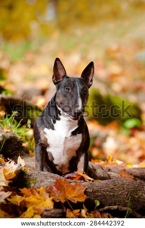 english bull terrier in autumn