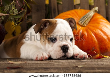 English bulldog and a pumpkin - stock photo