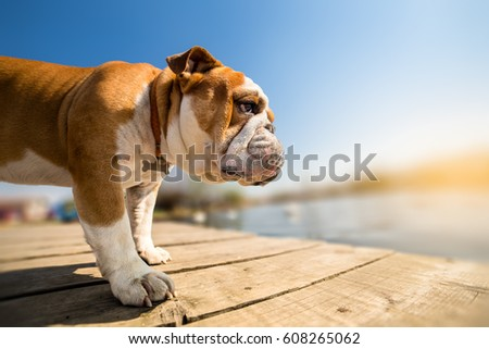 English Bulldog Stock Images RoyaltyFree Images Vectors