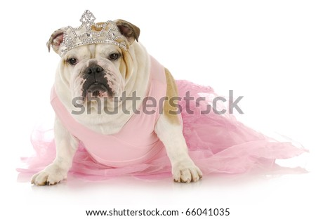 english bulldog dressed up like a princess in pink on white background - stock photo