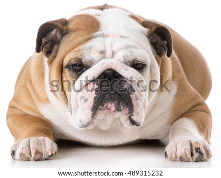 english bulldog female laying down looking at viewer on white background