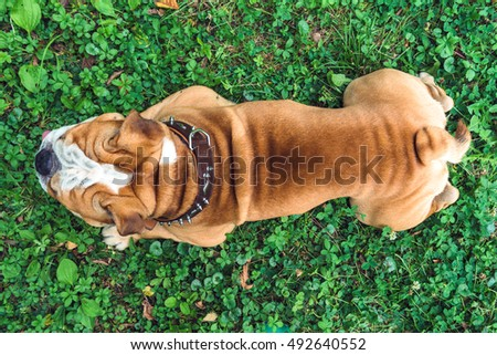 English bulldog from the back in grass,selective focus