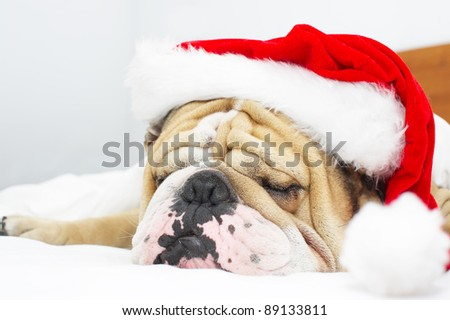 English Bulldog in a christmas hat isolated