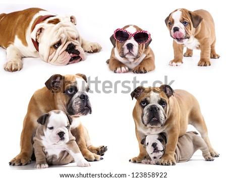 english bulldog in different poses - stock photo