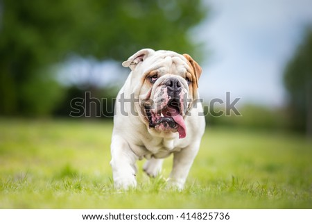 English Bulldog in garden dog portrait - stock photo