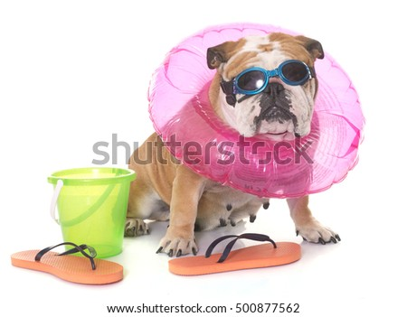 english bulldog in holidays in front of white background