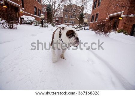 English Bulldog in the snow