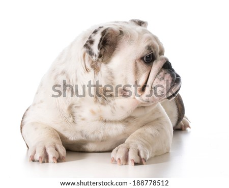 english bulldog laying down looking over shoulder isolated on white background