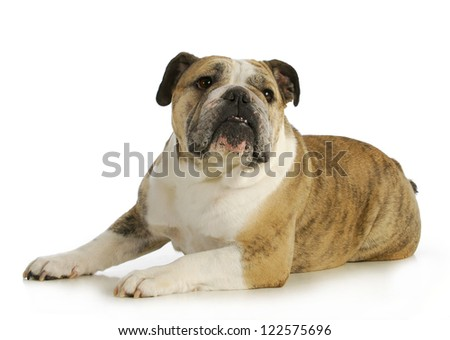 english bulldog laying down with reflection on white backgroundn- female - stock photo