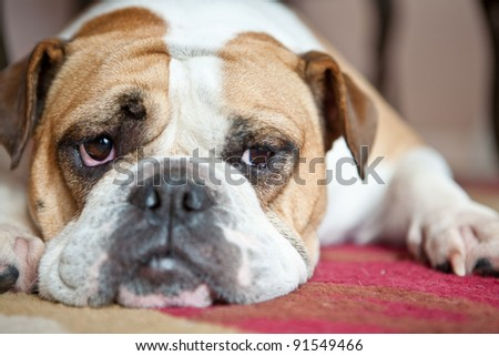 English Bulldog laying on a red and cream carpet. She is looking to the side. Typical Bulldog boredom..