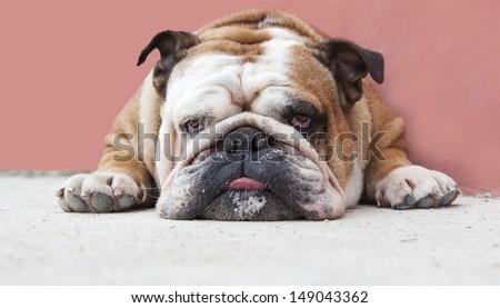 English Bulldog lie down steering at the camera and showing its tongue - stock photo