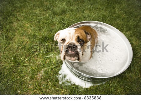 English Bulldog looking up at viewer from tub of bath water. - stock photo