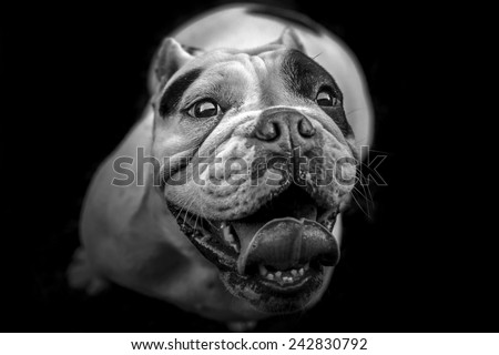 English Bulldog looking up - black and white portrait - stock photo