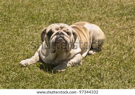English Bulldog lying on the lawn. Outdoors portrait. - stock photo