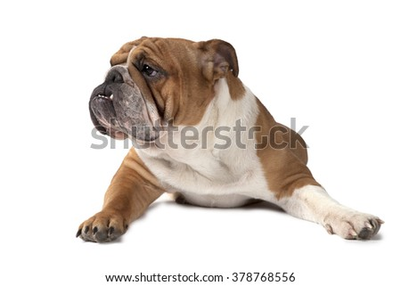 English Bulldog lying on white background and looking to the side