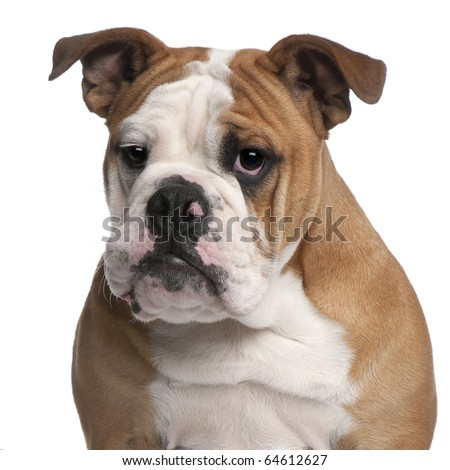 English bulldog, 6 months old, in front of white background - stock photo