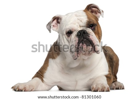 English Bulldog, 18 months old, lying in front of white background - stock photo