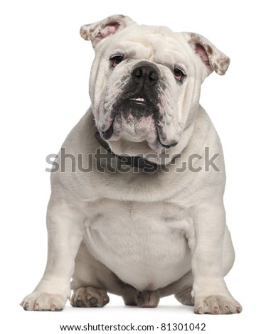 English Bulldog, 14 months old, sitting in front of white background - stock photo