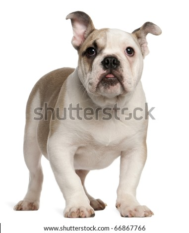 English bulldog, 4 months old, standing in front of white background - stock photo