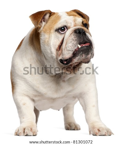 English Bulldog, 11 months old, standing in front of white background - stock photo
