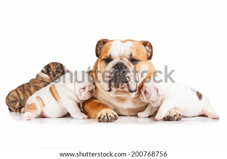 English bulldog mother with puppies - stock photo