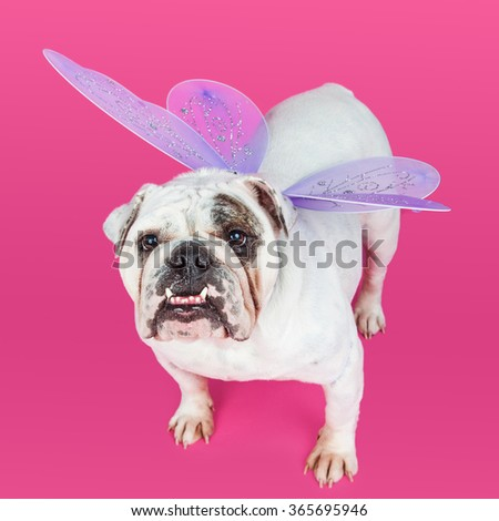 English Bulldog on a pink color studio background wearing purple butterfly wings - stock photo