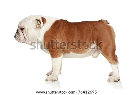English bulldog on white background. Side view