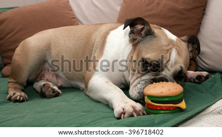 English Bulldog play with a sandwich toy