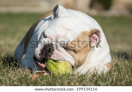 english bulldog playing with tennis ball outside in the grass - stock photo