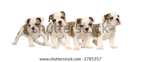 English bulldog puppies in front of a white background - stock photo