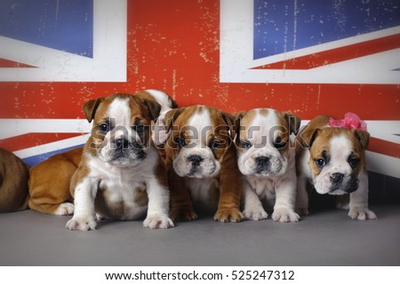 English bulldog puppies on Union Jack flag background
