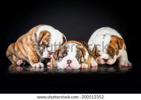 English bulldog puppies sleeping - stock photo