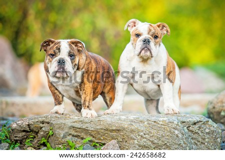 English bulldog puppies standing on the stone in the park  - stock photo
