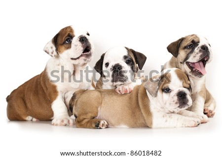 english Bulldog puppy - stock photo