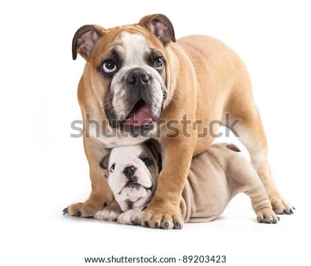 english Bulldog puppy and adult dog - stock photo