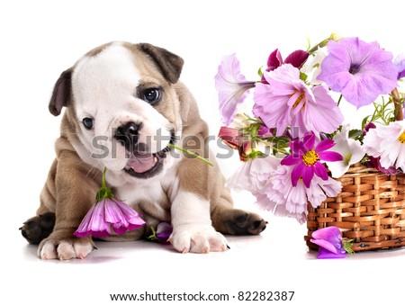 english Bulldog puppy and flowers - stock photo