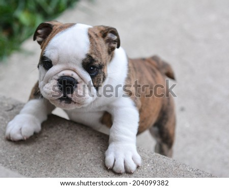 english bulldog puppy climbing up on cement stairs - stock photo
