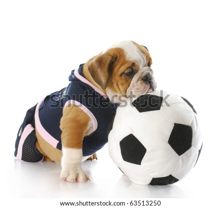 english bulldog puppy female wearing sports jersey playing with soccer ball