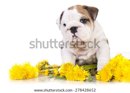 English bulldog puppy in a basket with dandelions - stock photo