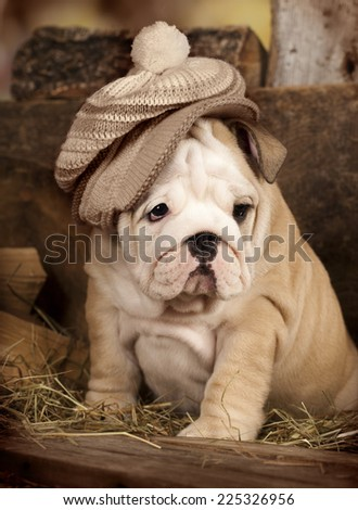 english bulldog puppy knitted hat  - stock photo