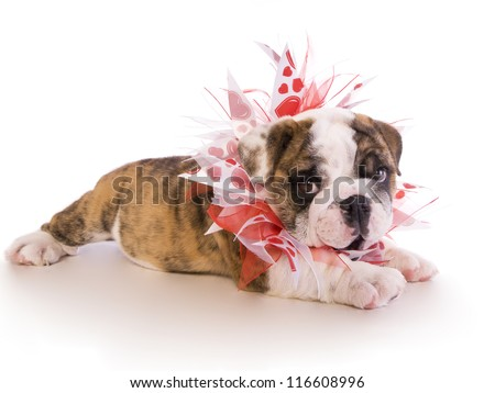 English Bulldog puppy lying down with red and white heart necklace isolated on white