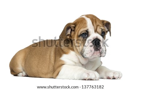English Bulldog Puppy lying, 2 months old, isolated on white