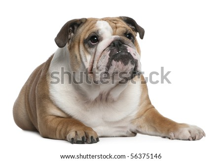 English Bulldog puppy, 10 months old, lying in front of white background - stock photo