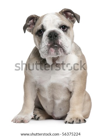 English Bulldog puppy, 5 months old, sitting in front of white background - stock photo