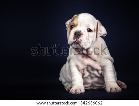ENGLISH Bulldog puppy on dark background - stock photo